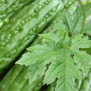 ampalaya seeds as coffee enhanced immune Ampalaya seeds are flat with ruminated margins  ampalaya is also used to  boost the immune system and as a supplement to build body resistance during.